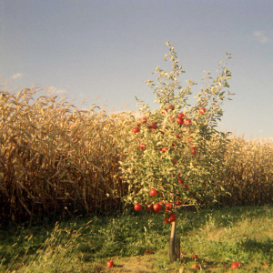 Who would've known I could find a picture of an apple tree by a sweet corn field? What serendipity. Photo by Matt Callow via CC.